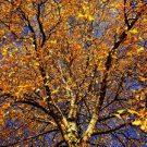Umjetnička fotografija drveta breze u kasnu jesen.